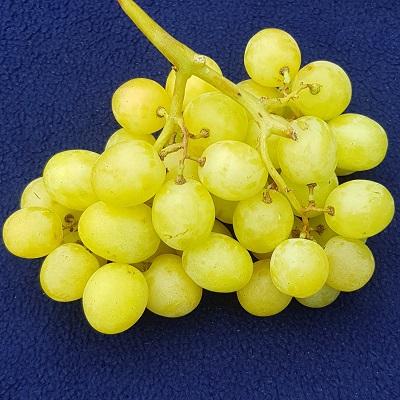 ivory grape