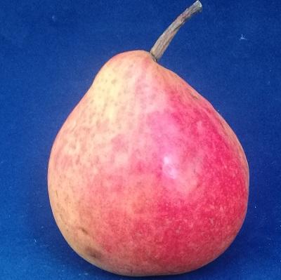 dicolor pear